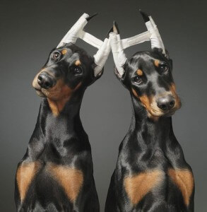 Купирование ушей у собак