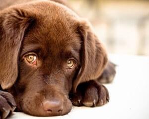 Признаки беременности собак