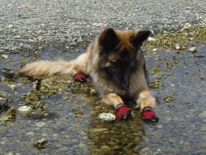Как приучить собаку к обуви