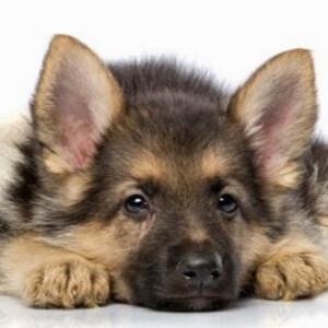 Чумка собак