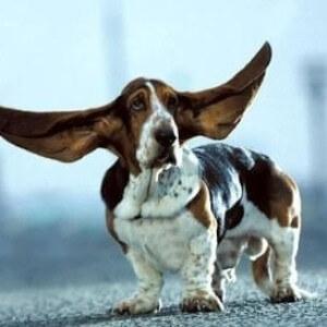Собака с большими ушами