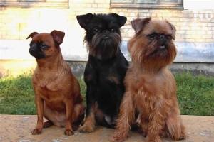 Собаки породы грифон