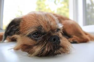 Порода собак бельгийский грифон, Мир вашему дому