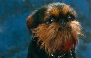 Порода собак бельгийский грифон