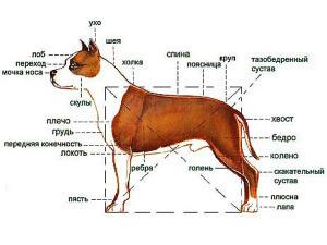 Амстафф описание и характеристика породы