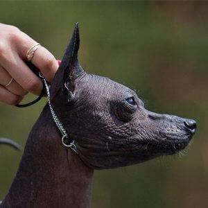 Ринговка на мексиканской собаке