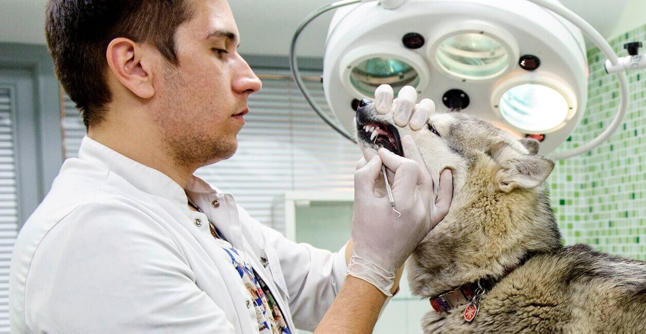 Стоматит у собак причины, симптомы, лечение