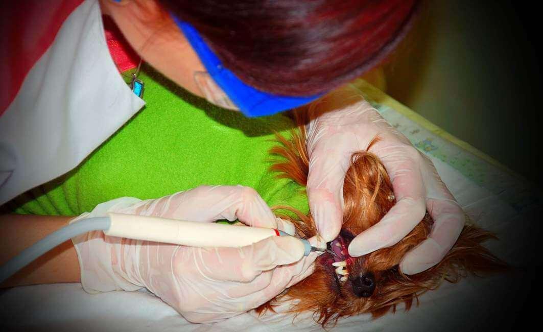 Ультразвуковая чистка зубов у собак