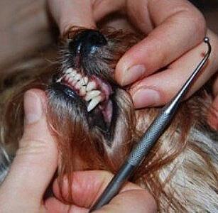 Зубной налет у собак. Как удалить зубной камень собаке