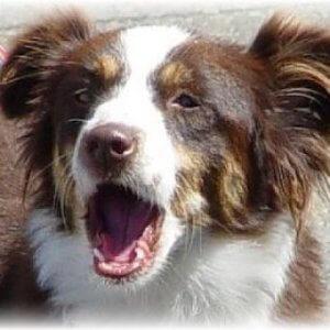 Учим команду Голос! Как научить собаку лаять по команде