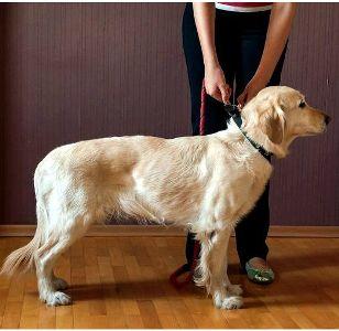 Команда Стоять! как научить собаку ее выполнять