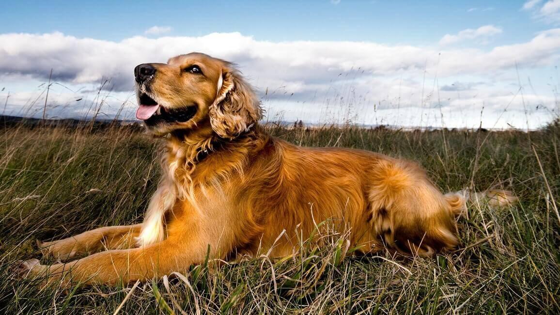 Правильно воспитанный пес лежит до подачи следующей команды