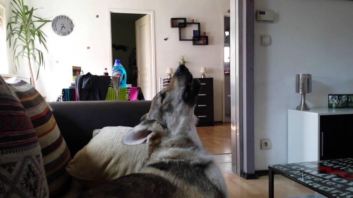 Как отучить собаку выть в квартире