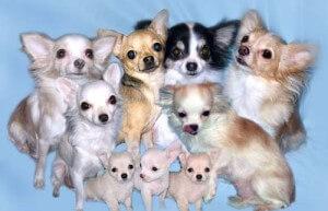 Преимущества маленьких собак