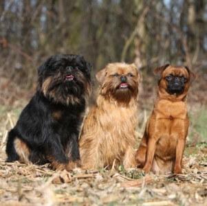 порода собак гриффон пти брабансон
