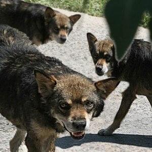 Дикие собаки